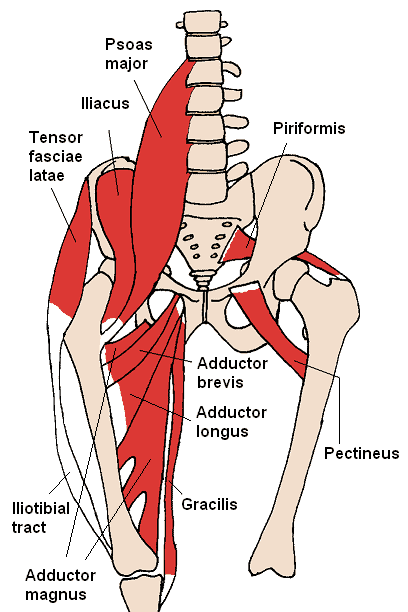 The hip flexors are a group of muscles near the hips.
